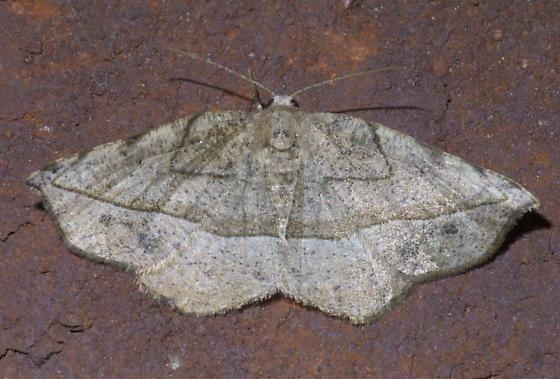 Tan geometrid moth - Eusarca packardaria