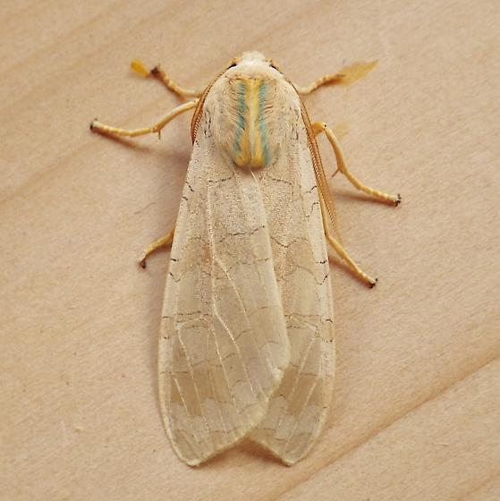 Erebidae: Halyidota tessellaris - Halysidota tessellaris