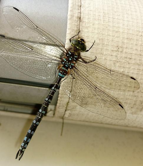 Dragonfly - Aeshna verticalis