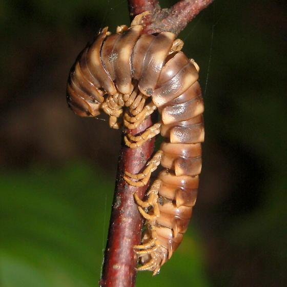 Millipede fungus victim