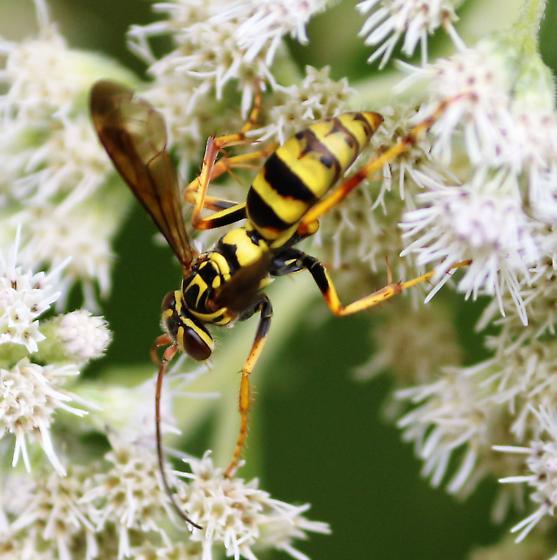 Wasp - Poecilopompilus interruptus - female