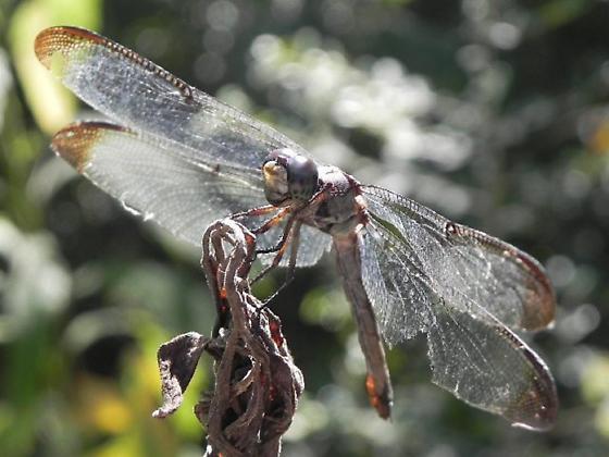 TX Dragonfly species? - Libellula vibrans
