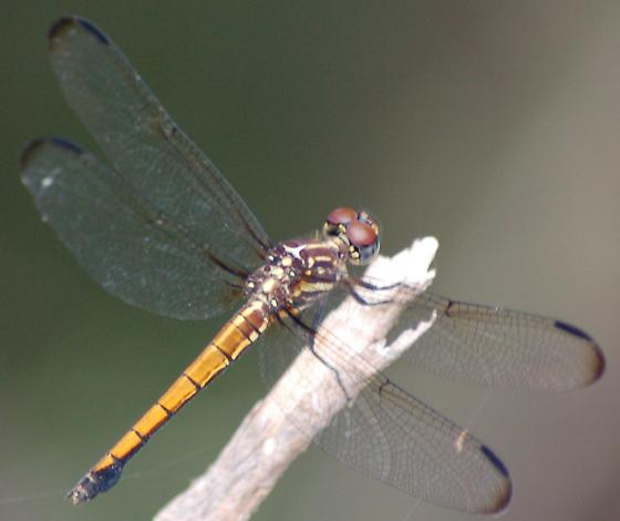 Gray-waisted Skimmer, female - Cannaphila insularis - female