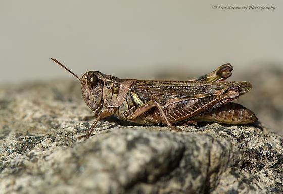 Migratory Grasshopper (Melanoplus sanguinipes)