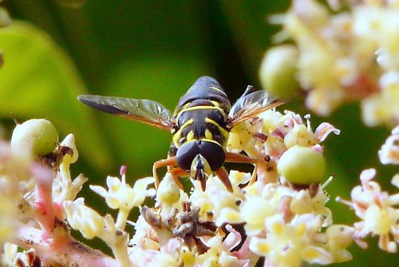 Flower Fly - Meromacrus acutus - male