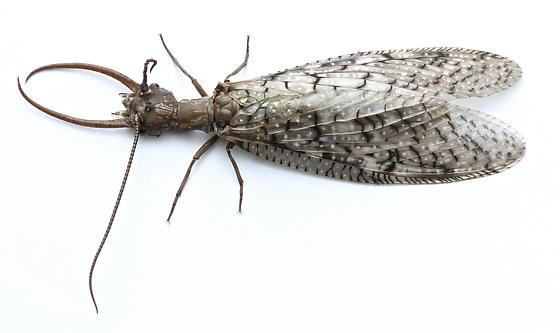 Corydalus cornutus - male