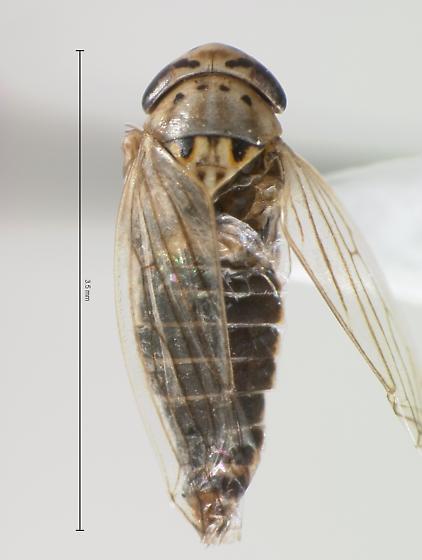 Cicadellidae - Exitianus