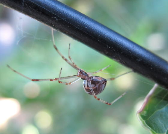 Juvenile Black or Brown Widow - Latrodectus geometricus