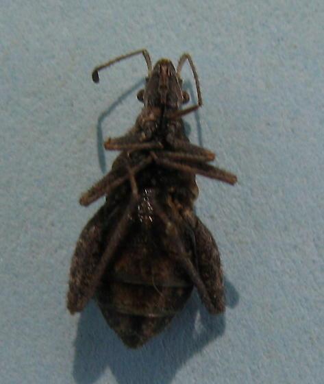 Hemiptera,  - Stachyocnemus apicalis