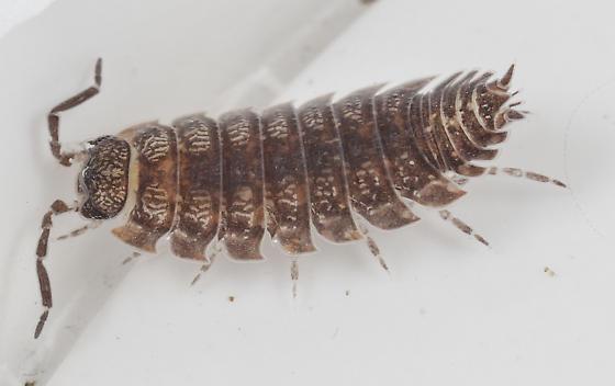 Freshwater Isopod Maybe ?