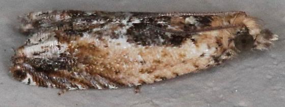 Crocidosema plebejana - Cotton Tipworm Moth - Crocidosema plebejana