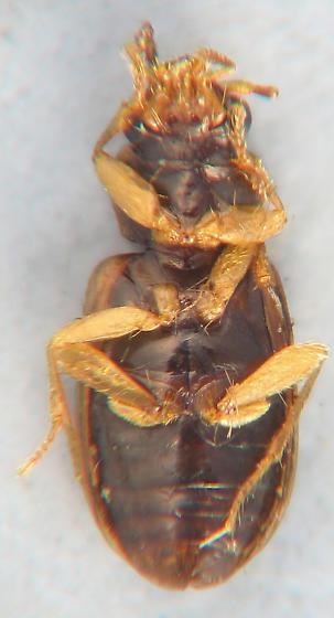darker Paratachys - Tachys pumilus