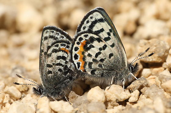 Blues - Euphilotes battoides - male - female