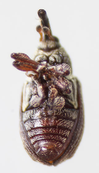 Beetle - Anthonomus