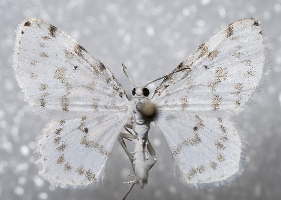 Hydrelia albifera
