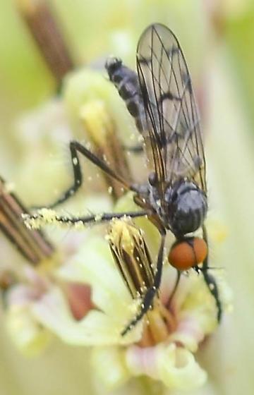 dance fly Rhampomyia? - Empis clausa - male