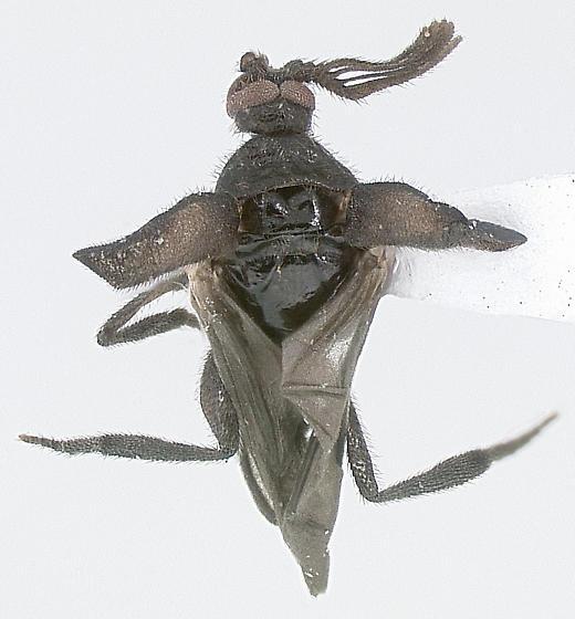 Pirhidius n. sp. - Pirhidius undescribed - male