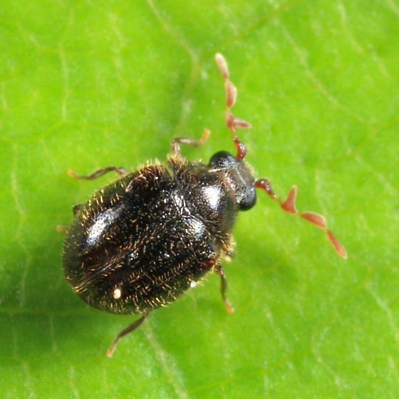 Byrrhodes sp.? - Caenocara tenuipalpum