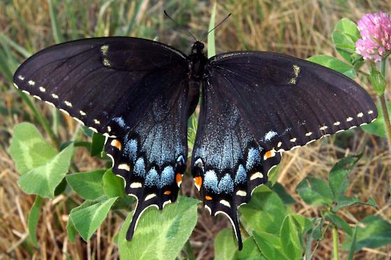 Eastern Tiger Swallowtail - Black Form Female - Papilio glaucus - female