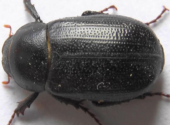 Scarab with Rough Belly - Diplotaxis