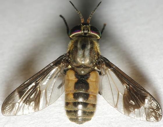 Id request - Chrysops abatus - female