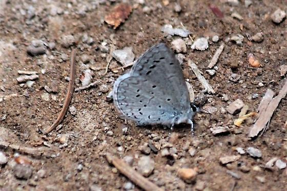 Unknown Blue - Celastrina echo