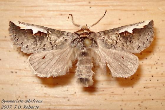 Symmerista albifrons - male