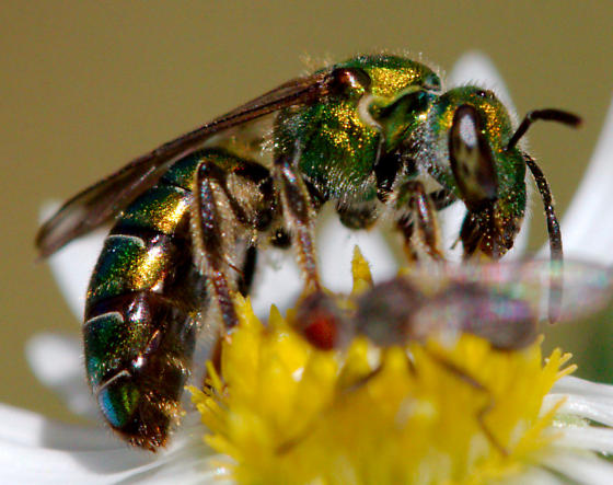 Sweat Bee? - Augochlorella - female