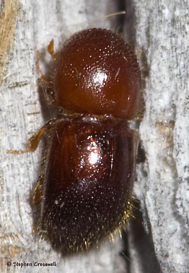 Scolytinae species 2 - Xylosandrus crassiusculus