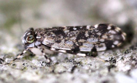 Barklouse - Stimulopalpus japonicus