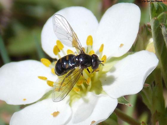 Pipiza quadrimaculata - female