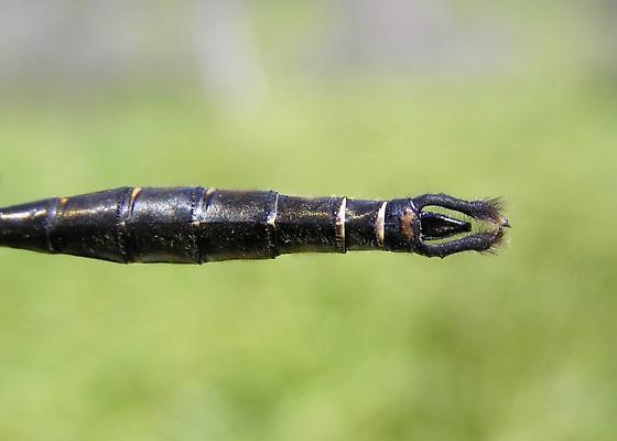 Somatochlora walshii - male