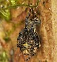 triangle spider - Hyptiotes gertschi