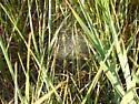 Bowl and Doily Spider - Frontinella pyramitela