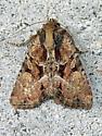 Noctuid moth - Xylomoia indirecta