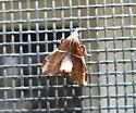 small brown sphinx, curved abdomen, white stripes - Penthesilea difficilis