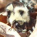 Bee - Bombus vagans