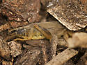 Family Gryllotalpidae - Mole Crickets ID please - Neoscapteriscus vicinus