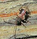 Tiny Beetle - Ptinus