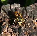 Yellowjacket ID Request - Vespula maculifrons