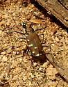 Tiger Beetle - Cicindela