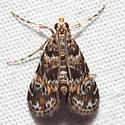 Elophila obliteralis - male
