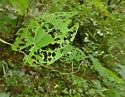 Air Potato Leaf Beetle - Lilioceris cheni