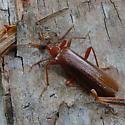 Big Red - Dendroides ephemeroides - female