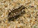 Riverside tiger beetle - Cicindela repanda