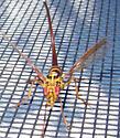 Wasp-mimic Fly - Toxotrypana curvicauda