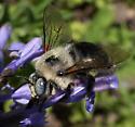 Beautiful plump bee - Xylocopa tabaniformis - male