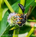 Katydid Wasp (Sphex nudus) - Sphex nudus