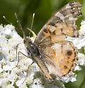 very faded? butterfly? - Vanessa virginiensis