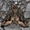 Pseudanarta sp. From Oklahoma - Pseudanarta